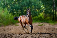 Young horse runs Royalty Free Stock Photos
