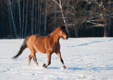 Young horse Royalty Free Stock Photo