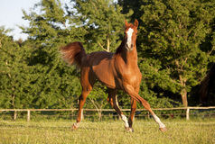 Young horse trotting on pasture Royalty Free Stock Photo