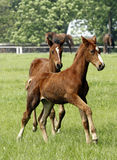 Young horses. Two foals running in the meadow Royalty Free Stock Photography