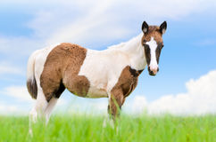 Young horses are brown on sky background Stock Photos