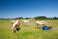 Young horses in Dutch landscape Royalty Free Stock Images