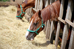 Young horses eating dry hay at animal farm summertime Stock Photo