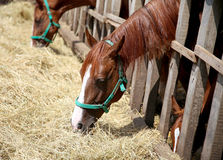 Young horses eating dry hay at animal farm summertime Stock Image