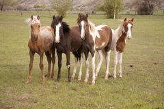 Young horses looking Royalty Free Stock Photography