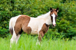 Young horses looking in meadow Stock Photo