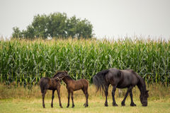 Young horses with mother in a field Royalty Free Stock Images
