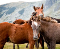 Young horses in a mountain. Two young horses looking at camera in the mountains Royalty Free Stock Images