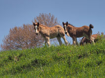 YOUNG HORSES ON MOUNTAIN stock image