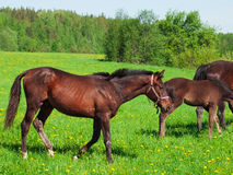 Young horses in the pasture Royalty Free Stock Photo