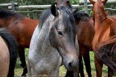 Young horses Royalty Free Stock Image