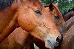 Young horses Royalty Free Stock Photos
