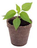 Young hot pepper plant Royalty Free Stock Photo