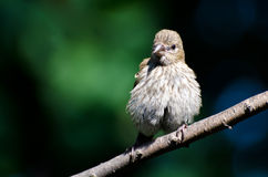 Young House Finch Perched on a Branch Stock Photos