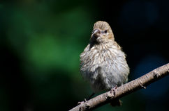 Young House Finch Perched on a Branch Royalty Free Stock Photography