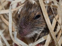 House mouse hides in wood wool royalty free stock image