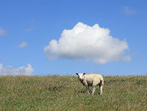 Young house sheep on the pasture Stock Image