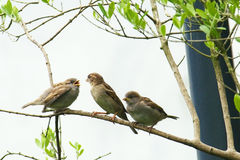 Young house sparrow. S getting fed by female adult, passer domesticus stock photos