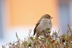 Young house sparrow Stock Images