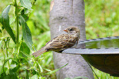 Young house sparrow Royalty Free Stock Photography