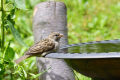 Young house sparrow Royalty Free Stock Photo