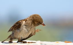 Young House Sparrow eating Stock Photo