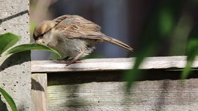 Young House sparrow. Passer domesticus stock video