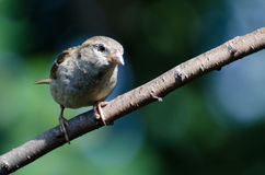 Young House Sparrow Perched on a Branch Royalty Free Stock Photo