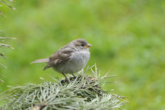 Young House Sparrow Stock Image