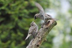 Young House Sparrow Royalty Free Stock Photos