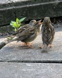 Young House Sparrows Royalty Free Stock Images