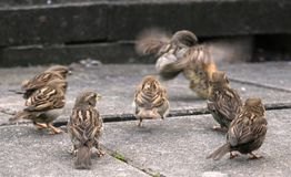Young House Sparrows Royalty Free Stock Photography