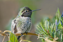Young Hummingbird Royalty Free Stock Photos