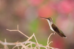Young Hummingbird on branch Stock Image