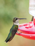 Young Hummingbird at feeder Stock Photo