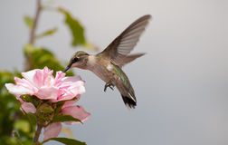 Young Hummingbird feeding Stock Image
