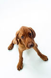 Young Hungarian Vizsla Stock Photo