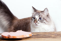 Young hungry cat. Looking at the plate with sausage stock photography
