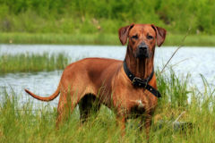 Young hunter at lake. Dog ready to swim. It's waiting for an order Royalty Free Stock Image
