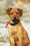 Young hunting dog looking at camera Stock Image