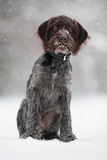 Young hunting dog on the winter walking Stock Image