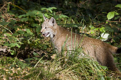 Young hunting lynx Royalty Free Stock Images