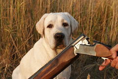 A young hunting yellow labrador Stock Images