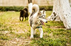 Young huski puppy playing in the park. Young huski puppy running on the grass outside Stock Images