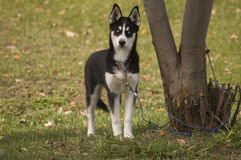 A young Huskie Royalty Free Stock Photography