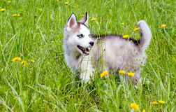 Young Huskies Royalty Free Stock Photo