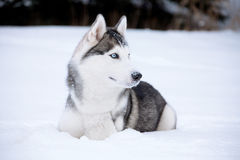 Young Husky. On white snow background Stock Image