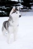 Young Husky Stock Photos
