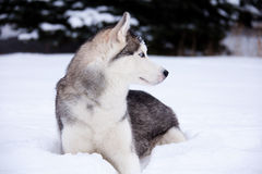 Young Husky Stock Photography