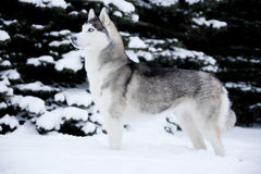 Young Husky. On white snow background Stock Images